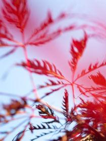 Fächerahorn (Acer palmatum 'Dissectum Ornatum') - Japanese maple (Acer palmatum 'Dissectum Ornatum') von botanikfoto