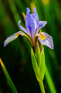 Iris von Barbara Magnuson & Larry Kimball