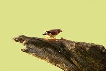 Prachtfink von Bastian  Kienitz