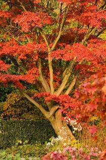 Fächerahorn (Acer palmatum 'Autumn Glory') - Japanese maple (Acer palmatum 'Autumn Glory') von botanikfoto