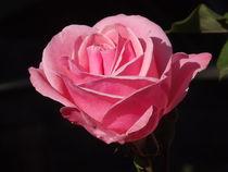 Pink Rose by Henrietta Benjamin