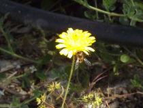 Bee on small sunshine weed.. von Henrietta Benjamin