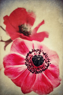 Sweet Anemone II  by AD DESIGN Photo + PhotoArt