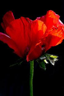 Leuchtendes Rot von hannahw