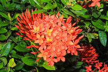 bright red flowers ixora von Craig Lapsley