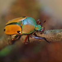 Insekten, Käfer, afrikanischer Rosenkäfer(eudicella euthalia), rose chafer, african beetle, bug von Dagmar Laimgruber