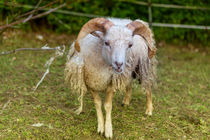 Eine wunderhübsche Angora-Ziege von Gina Koch