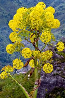 Gelbe Mediterane Blüten von captainsilva