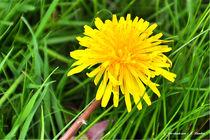 Blumen, gelb, Flora, Löwnzahn von shark24