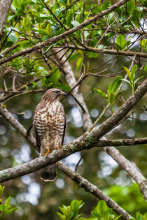 Roadside hawk by Craig Lapsley