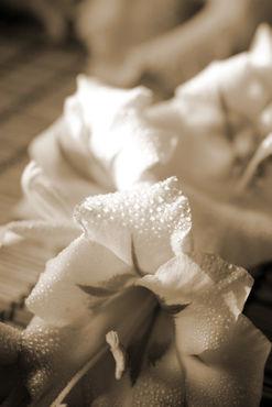 Gladiole-sepia2