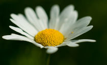 Margerite - Macro by chriscolinpix
