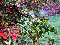 Thorns, Berries and Leaves  von bebra