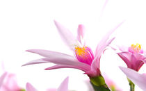 Kaktusblüte, Macro von chriscolinpix