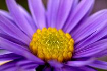Astern, Blüte, Macro von chriscolinpix