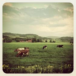 Randi-cow