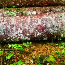 Birkenholz im Wald von Gina Koch