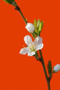Weiße Kirschblüte  by Bastian  Kienitz