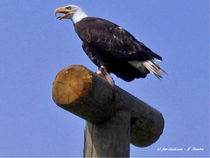 Bald-Eagle, Weisskopfadler, Wappentier der USA by shark24