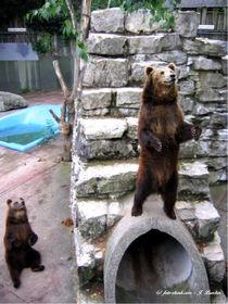Bären, wilde Tiere von shark24