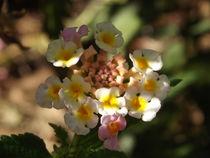 Small Rondarlesha... by Henrietta Benjamin