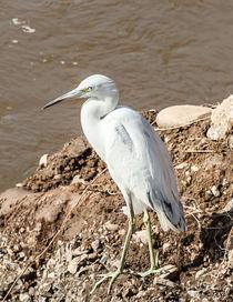 A snowy egret on a muddy riverbank by Craig Lapsley