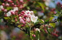 Apfelblüten von Elke Balzen