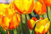 Tulpen Blüten von Elke Balzen
