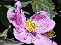 Pink Clematis - Greenbottle by Roger Butler
