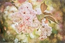 'Cherry Blossom' von loriental-photography