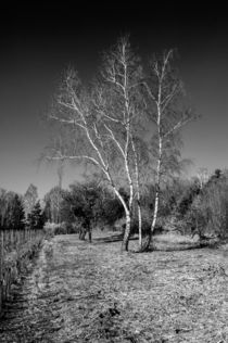 Birke sw by Erhard Hess
