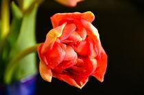 Rote Schönheit von lisa-glueck