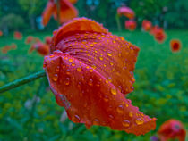Roter Mohn by lisa-glueck