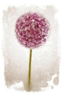 Allium von Peggy Graßler