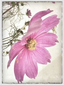 Vintage Cosmea by Peggy Graßler