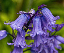 Bluebells by David Pringle