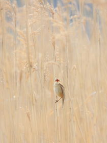 Sing of Reed Warbler by Andras Neiser