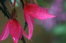 Begonia by Torsten Reuschling