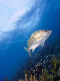 Fish over Reef, Nassau, Bahamas by Shane Pinder