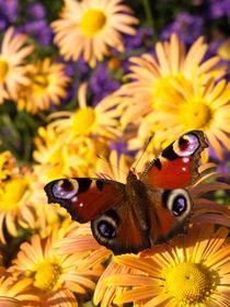 Gartenchrysantheme (Chrysanthemum indicum 'Mary Stroker') und Tagpfauenauge (Inachis io) - Garden chrysanthemum (Chrysanthemum indicum 'Mary Stroker') and peacock butterfly (Inachis io) von botanikfoto