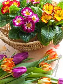 Schlüsselblumen (Primula) und Tulpen (Tulipa) - Primroses (Primula) and tulips (Tulipa) by botanikfoto