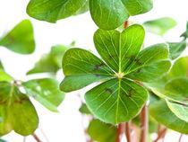 Glücksklee (Oxalis tetraphylla) - Lucky clover (Oxalis tetraphylla) von botanikfoto