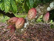 Kakao (Theobroma cacao) - Cacao (Theobroma cacao) von botanikfoto