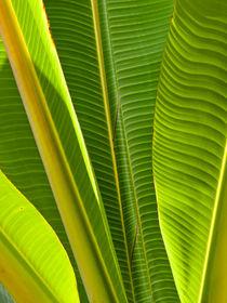 Zierbanane (Ensete superbum) - Abyssinian banana (Ensete superbum) by botanikfoto