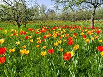 Obstwiese mit Tulpen - Orchard with tulips von botanikfoto