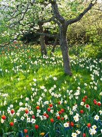 Obstwiese mit Narzissen und Tulpen - Orchard with daffodils and tulips von botanikfoto