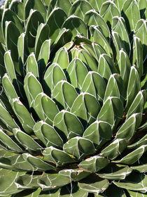Agave (Agave victoriae-reginae) by botanikfoto