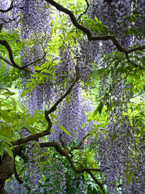 Japanischer Blauregen (Wisteria floribunda 'Longissima') - Japanese wisteria (Wisteria floribunda 'Longissima') von botanikfoto