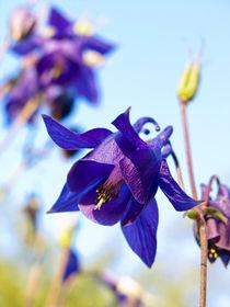 Kaukasische Akelei (Aquilegia olympica) - Columbine (Aquilegia olympica) by botanikfoto