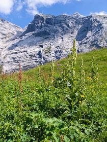 Weißer Germer (Veratrum album), Naturschutzgebiet Wettersteingebirge, Deutschland - White veratrum (Veratrum album), Wettersteingebirge Nature Reserve, Germany by botanikfoto